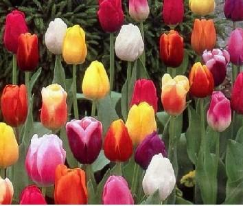 Gemengde-tulpen1